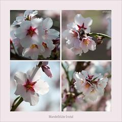 D700-5928 (Weinstöckle) Tags: mandelblüte baum mandelbaum blüte knospe weinberg enz mühlhausen