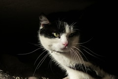 Grannkatt (evisdotter) Tags: grannkatt neighborcat katt cat portrait light pet sooc