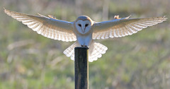 Touchdown! (KHR Images) Tags: barn owl barnowl tytoalba wild bird birdofprey perching landing post fendraytonlakes rspb cambridgeshire wildlife nature backlit nikon d500 kevinrobson khrimages