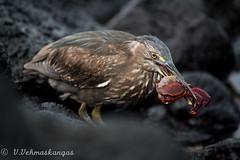 Lava heron (Butorides sundevalli) with prey (Ville.V.) Tags: lava heron butorides sundevalli galapagos birds ecuador wild wildlife animals nature
