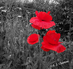 Scarlet Trio (Laurie's Lens) Tags: poppies outdoors bw blackandwhite flower nature manipulations