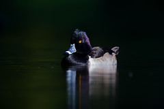 Ring-necked duck (Thy Photography) Tags: ringneckedduck avian california backyard photography outdoor animal nature bird duck drake wildlife