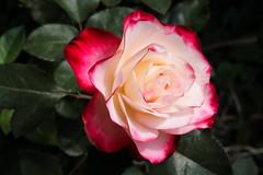 Rose Blossom in the Garden (Nancy CJ Hsu) Tags: rose pink red love romantic petal garden blossom nature