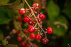 Red Berries (Terra Firma Productions) Tags: berry berries red branch branches bush bushes plant plants nature macro sony sonyalpha sonya7 sonya7ii adobe photoshop lightroom flower flowers mystery mysterious photo photography adobephotoshop adobelightroom macrophotography macrophoto
