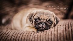The Pug! (SRadwan Photography) Tags: pug puppy batis1885 batis bokeh bokehlicious carlzeiss creamybokeh sonya7rii pets puppies cute adorable