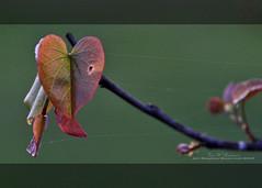 Tethered (f4fwildcat...Tom Andrews Photography) Tags: spring redbudtree morning light drybrush stylize photoshop tenderleaves silkweb f4fwildcat tomandrewsphotography canoneos7d tamron