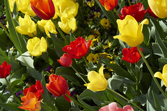 Turips (kr0nk0) Tags: flower turip sony a7rii ilce7rm2 sel70300g fe 70300mm f4456 g oss