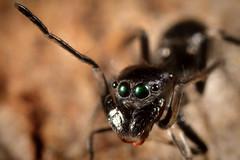 Cool Myrmarachne (Lacewing!) Tags: myrmarachneerythrocephala laura queensland ant mimic spider batesian mimicry wildlife nature