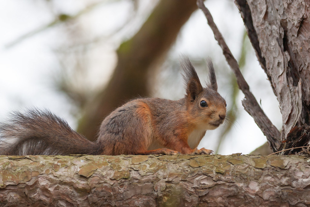 429c0cf5889 Lonely squirrel out in the cold spring weather (J M Kervel) Tags: eos5d  jmkervel