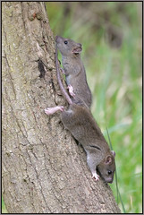 Tree Rats (image 1 of 2) (Full Moon Images) Tags: wicken fen nt national trust wildlife nature reserve cambridgeshire animal mammal brown rat