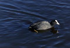 Moorhen (buddah1888) Tags: broadwood loch springsunshine coldwater moorhens feeding buddah1888 beautiful olympus omd em 10 mkii olympusomdem10mkii reflection reflections scotland sunshine wild bird water lake