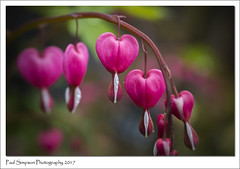 Dicentra - Bleeding Hearts (Paul Simpson Photography) Tags: dicentra bleedinghearts nature sonya77 paulsimpsonphotography naturephotography naturalworld gardenflower gardenplant plant slowers heart april2017 stem photoof imagesof imageof photosof flowerphotography