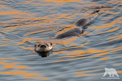 Curious Otter (fascinationwildlife) Tags: animal mammal wild wildlife nature natur national point reyes river otter fischotter curious swimming lagoon water california usa america