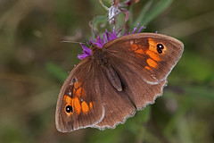 Maniola jurtina - the Meadow Brown (BugsAlive) Tags: butterfly butterflies mariposa papillon farfalla schmetterling бабочка animal outdoor insects insect lepidoptera macro nature nymphalidae maniolajurtina meadowbrown satyrinae wildlife wiltshire tidworth liveinsects uk