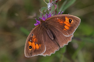 Maniola jurtina - the Meadow Brown