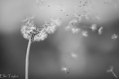Make a wish (ellie.taylor30) Tags: spring nikonnaturephotography nikon nature flickrnature macrodreams macro blackwhite hampshire