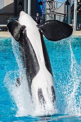 Ulises (Jennifer Stuber) Tags: seaworld seaworldsandiego orca killerwhale orque shamu shamustadium cetacean orcinusorca orcinus black white nikond750 nikon swc swsd