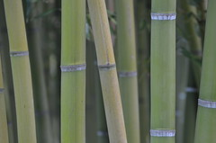 Bamboo (dfromonteil) Tags: tree arbre vert green bambou bamboo plant plante vegetal macro bokeh nature