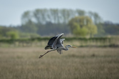 Grey Heron - Ardea Cinerea (Al Glenton - Norfolk images) Tags: grey heron ardea cinerea birds bird rspb strumpshaw strumpshawfen flight reserve nature wildlife uk norfolk images alglentonphotography canon70200mmf28l canon5dmk3