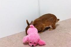 Ichigo san 646 (Ichigo Miyama) Tags: いちごさん。うさぎ rabbit bunny netherlanddwarf brown ichigo ネザーランドドワーフ ペット いちご うさぎ