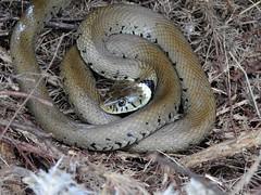 Grass Snake (Natrix natrix helvetica) (Nick Dobbs) Tags: grass snake natrix helvetica reptile dorset heath heathland