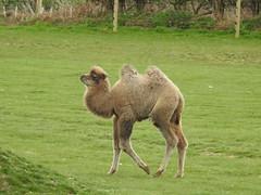 Happy youngster (Sharon B Mott) Tags: camel babyanimal animal calf yorkshirewildlifepark april