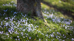 Sea of Flowers (judithrouge) Tags: flowers blumen blümchen park baum garden garten tree trunk meadow wiese spring frühling frühjahr