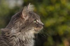 Out in the green (FocusPocus Photography) Tags: fynn fynnegan katze kater cat chat gato tier animal haustier pet garten garden