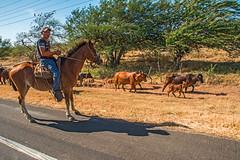 Gaucho's Cattle Drive (fotofrysk) Tags: gaucho cowboy horse cattle drive highway12 centralamericatrip nicaragua sigma1750mmf28exdcoxhsm nikond7100 201702059507