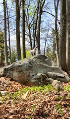 Our Pride Rock (SurFeRGiRL30) Tags: nature priderock backyard dog sammy rock mobydick trees leaves spring beautiful bluesky pretty awesome newjersey nj mothernature gsp germanshorthairedpointer