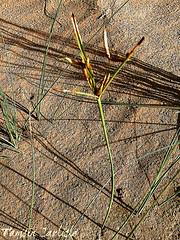 Desert Sedge (tinlight7) Tags: sedge desertsedge sand sharjah uae taxonomy:kingdom=plantae plantae taxonomy:clade=tracheophyta tracheophyta taxonomy:phylum=magnoliophyta magnoliophyta taxonomy:class=liliopsida liliopsida taxonomy:order=poales poales taxonomy:family=cyperaceae cyperaceae taxonomy:genus=cyperus cyperus taxonomy:species=conglomeratus taxonomy:binomial=cyperusconglomeratus cyperusconglomeratus