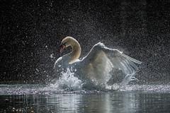 Swan Shower (Greg Sinclair) Tags: swan bird animal light splash wings birds animals nikon d500 white 300mm