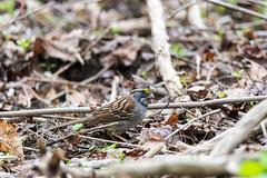 arcadia2017-296 (gtxjimmy) Tags: nikond7200 nikon d7200 tamron 150600mm arcadia arcadiawildlifesanctuary massachusetts massaudubon audubon audubonsociety newengland spring whitethroatedsparrow sparrow