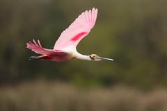 Roseate Spoonbill (Greg Lavaty Photography) Tags: roseatespoonbill plataleaajaja texas march bird nature wildlife flight houstonaudubon smithoaks rookery highisland outdoors birdphotography
