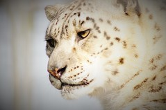 Magnificent. (cymrost) Tags: snowleopard ounce zoo wales cat animal