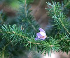 Τελευταίο χειμωνιάτικο στολίδι (philos from Athens) Tags: picmonkey crocus fir έλατο christmastree parnitha athens κρόκοσ purple μωβ