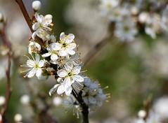 IMG_3758 (3) (DandelionPuppets) Tags: shrub poynings westsussex sloe prunus spinosa prunusspinosa
