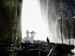 Three's Company (garryknight) Tags: cybershot dschx60v lightroom london ononephoto10 sony stjamesspark bird cormorant fountain pelican