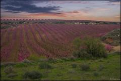 Campos de ensueño. (antoniocamero21) Tags: campo melocotoneros primavera color foto sony rosa perspectiva árboles verde cielo atardecer aitona lleida catalunya