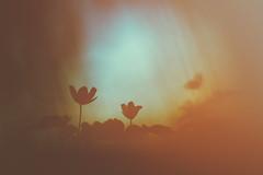Le réveil des anges (Thomas Vanderheyden) Tags: angel ange anemone sylvie nemerosa flowers fleurs flore flora nature picardie fujifilm xt1 samyang135f2 fuji colors couleur bokeh ngc thomasvanderheyden
