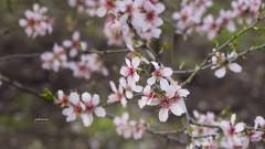 (179/17) Sensaciones nuevas (Pablo Arias) Tags: pabloarias photoshop photomatix nxd españa floración flor árbol planta macro jardín quintadelosmolinos madrid comunidaddemadrid jardin