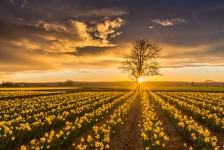 Skagit Valley Daffodils Sunstar