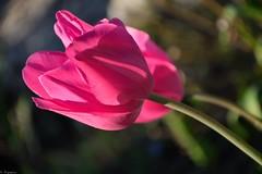 Tulipes (Mystycat =^..^=) Tags: tulipe tulip fleur flower mygarden monjardin plante bokeh naturethroughthelens coth5