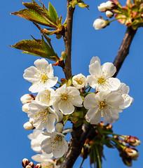 Blütenpracht mit Morgentau (fotaennie) Tags: rieselfelder blüten frühling morgentau