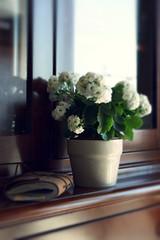 Home (Shahrazad_84) Tags: home stilllife simplicity plant kalanchoe diary cosy getcozy cozy spring flowers