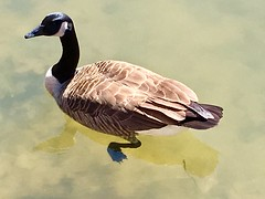 Park School pond ~ Canada Goose (karma (Karen)) Tags: parkschool pikesville maryland canadagoose swimming ponds geese iphone