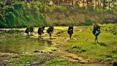 """NEPAL, Royal Chitwan-Nationalpark, mühsames Holzsammeln, 75395//8176 (roba66) Tags: textur texture effecte reisen travel explore voyages roba66 visit urlaub nepal asien asia südasien """"royal chitwannationalpark"""" nationalpark landschaft landscape paisaje nature natur naturalezza tier tiere animal animals creature menschen nepalesen people holzsammler arbeiter"""