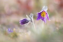 Different (Fernando.P.Photo) Tags: anemone pulsatile anemonepulsatile proxy flower nature macrodreams bokehlicious