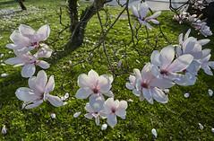 Danse autour du magnolia 3/22 (Emmanuel Cattier -) Tags: magnolia fleur plante tree fleursetplantes flower flowering arbre arbreenfleur france strasbourg alsace grandest floraison lumière printemps cattier emmanuelcattier manusoft