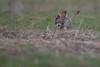 R17_0008 (ronald groenendijk) Tags: cronaldgroenendijk 2017 asioflammeus rgflickrrg animal bird birds birdsofprey groenendijk nature natuur natuurfotografie outdoor owl owls ronaldgroenendijk roofvogels shortearedowl velduil vogel wildlife